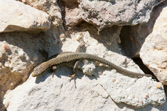 Green lizard. On the top of a rock, top view Stock Photo