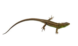 Green lizard. Isolated on white background Stock Photography