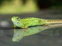 Green lizard. A green lizard on a gray background Stock Images