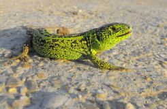 Green lizard. A green male of lizard Stock Photo