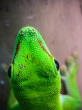 Green lizard. European green lizard , Lacerta viridis Royalty Free Stock Photo