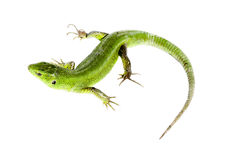 Green lizard. On white background Stock Photography