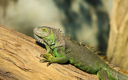 Green lizard. Stock Photo