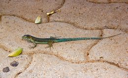 A green lizard Stock Photo
