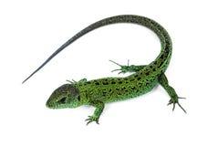 Free Green Lizard Stock Image - 35998941