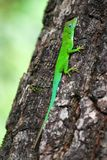 Green lizard. Living in trees in Guadeloupe and all the Caribbean Stock Image