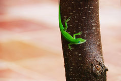 Green lizard. A Green anole lizard on a magnolia tree trunk in a red and yellow tile courtyard stock photo
