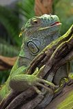 Green lizard. Large green lizard in the Antwerp Zoo Stock Photo