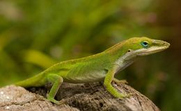 Green Lizard. Green Anole/chameleon/lizard Royalty Free Stock Photography