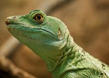 Green lizard Stock Images