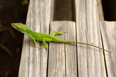 Green lizard. Photograph on a green lizard on a wooden bench Royalty Free Stock Images