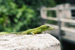 Green Lizard. A view of a green lizard on a wall Stock Photo