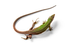 The green lizard above view isolated on white Stock Photography