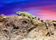 Green lizard against sunset  sky Stock Photography