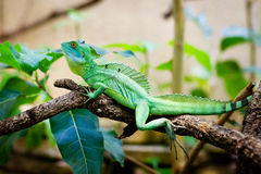 Green lizard basiliscus sitting on a branch Stock Photo