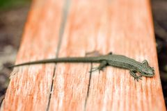 Green lizard basking on the boards stock photography