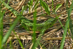 Green lizard. Stock Photos