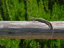 Green lizard basking in the sun Royalty Free Stock Photography