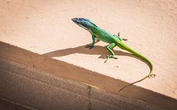 Green lizard. Is basking in the sun Royalty Free Stock Photos