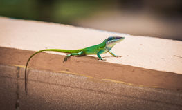 Green lizard. Is basking in the sun Stock Photography