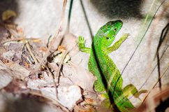 A green lizard is basking in the sun on a rock royalty free stock photos