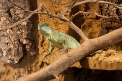 Photograph of a Green lizard Stock Images