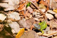 Green lizard Royalty Free Stock Photography