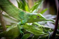 Green Lizard - Berthold`s Bush Anole Polychrus gutturosus royalty free stock images