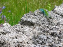 A green lizard bi color on a rock on a piece of green grass to spring. Italy. A green lizard bi color on a rock on a piece of green grass to spring, Italy Stock Images