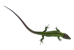 Green lizard. Big green lizard isolated on white background Royalty Free Stock Photo