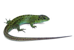 Green lizard. Big green lizard isolated on white background Stock Photos