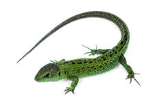 Green lizard. Big green lizard isolated on white background Stock Image