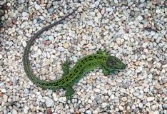 Green lizard. Big green lizard on a large sand Stock Photography