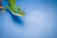 Green lizard on blue. Bright green lizard on a blue background Royalty Free Stock Photography
