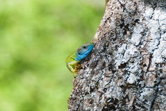 Green Lizard with blue head climbing on a tree Royalty Free Stock Photography