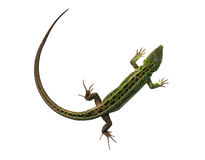 Green lizard with bowed tail Stock Images