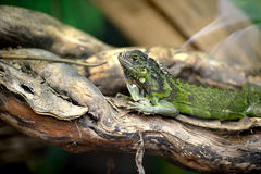 Green Lizard. A green lizard on a branch Stock Photos