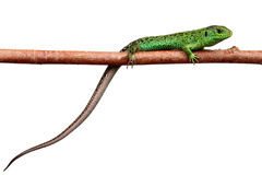 Green lizard on a branch Royalty Free Stock Image