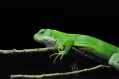 Green lizard on a branch against a black background Royalty Free Stock Photos