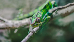 Green Lizard on the Branch during Daytime Stock Photos