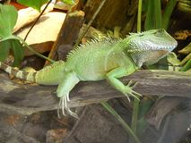 Green lizard on branch stock photos