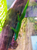 Green lizard on branch Stock Photo