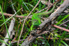 Green lizard in bush. Small lizard, nature and animals. Close up view Stock Photos