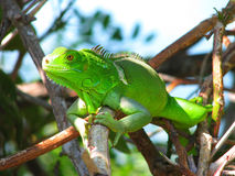Green lizard in the bushes Stock Photos