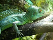 Green lizard chameleon at Riga zoological garden Royalty Free Stock Photos