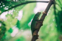 Green Lizard in rainforest in costa rica royalty free stock photo