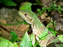 Green lizard close-up Royalty Free Stock Photography