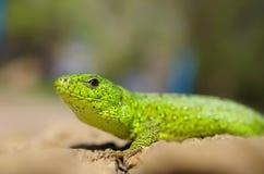 Green lizard close-up Stock Photo