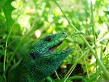 Green lizard close-up stock images