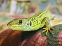 Green lizard closeup Stock Photos